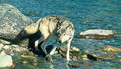 Wolf at Waters Edge